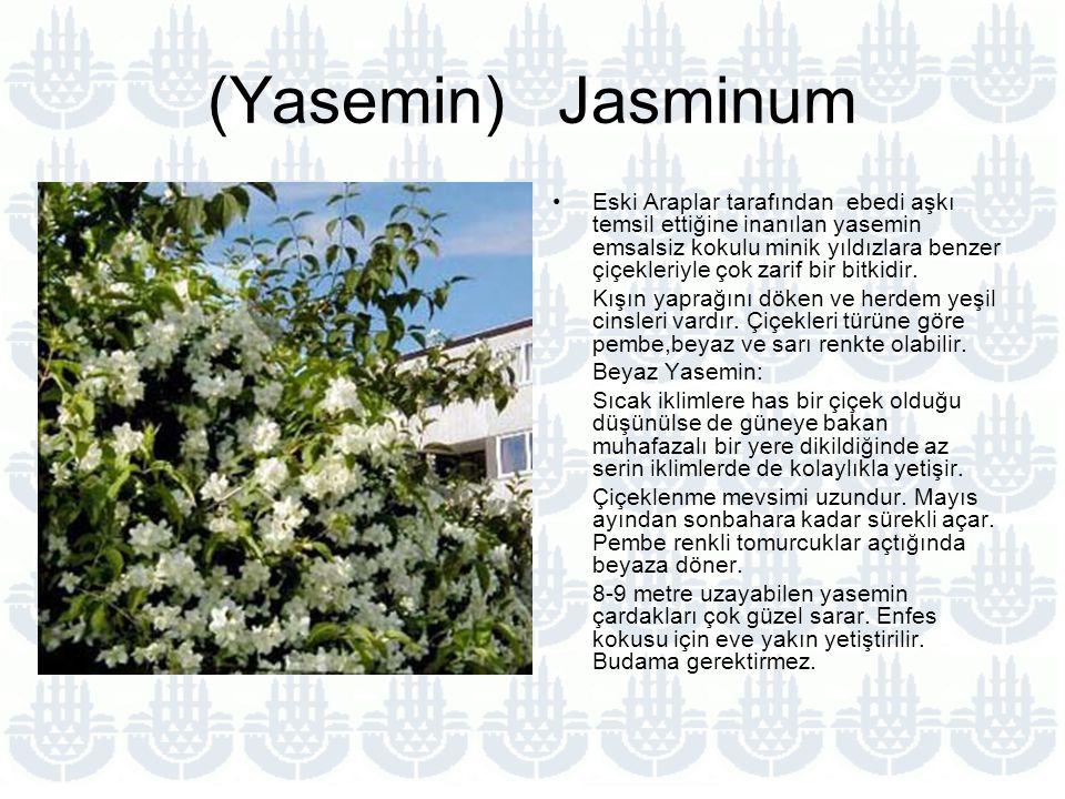 (Yasemin) Jasminum