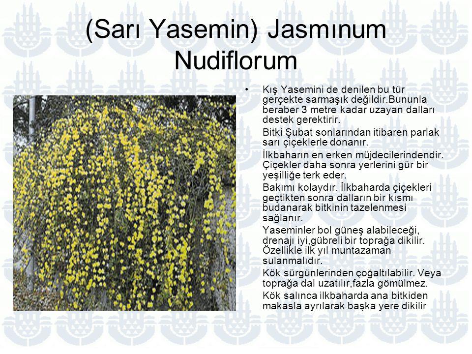 (Sarı Yasemin) Jasmınum Nudiflorum