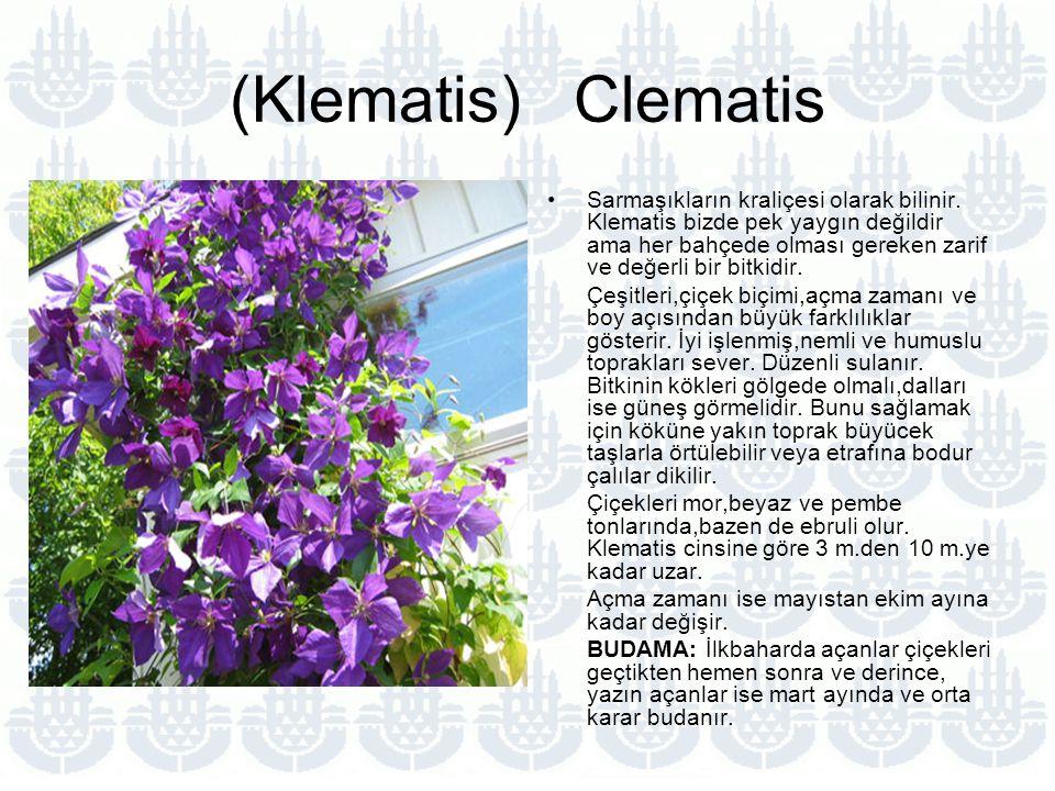 (Klematis) Clematis