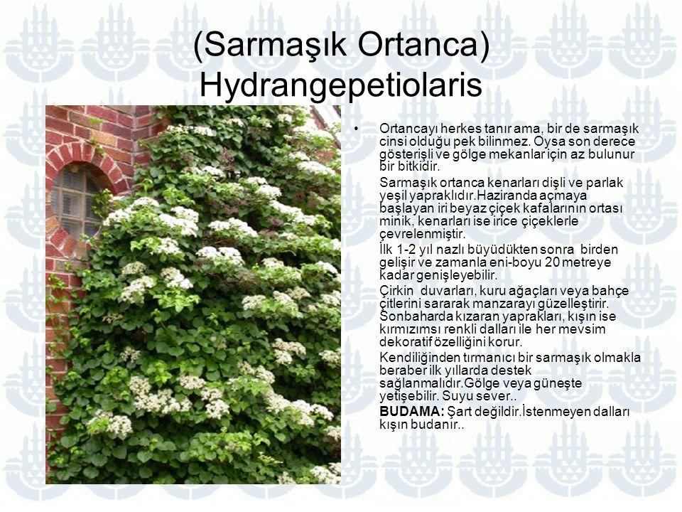 (Sarmaşık Ortanca) Hydrangepetiolaris