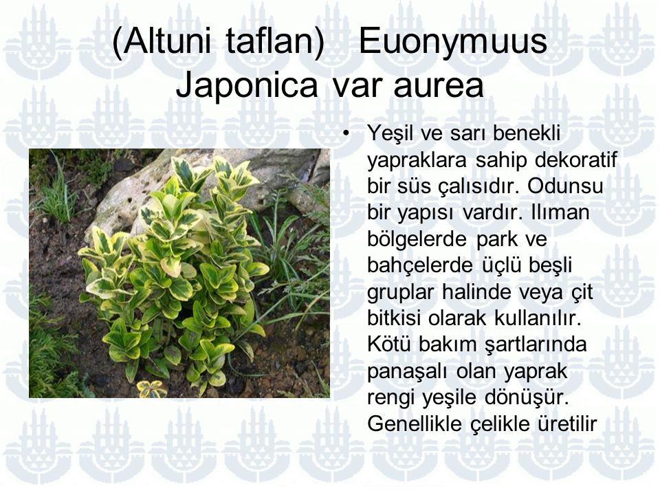 (Altuni taflan) Euonymuus Japonica var aurea