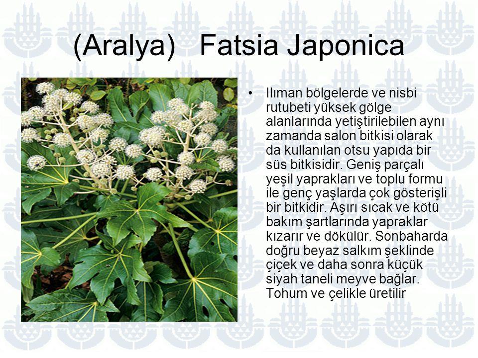 (Aralya) Fatsia Japonica