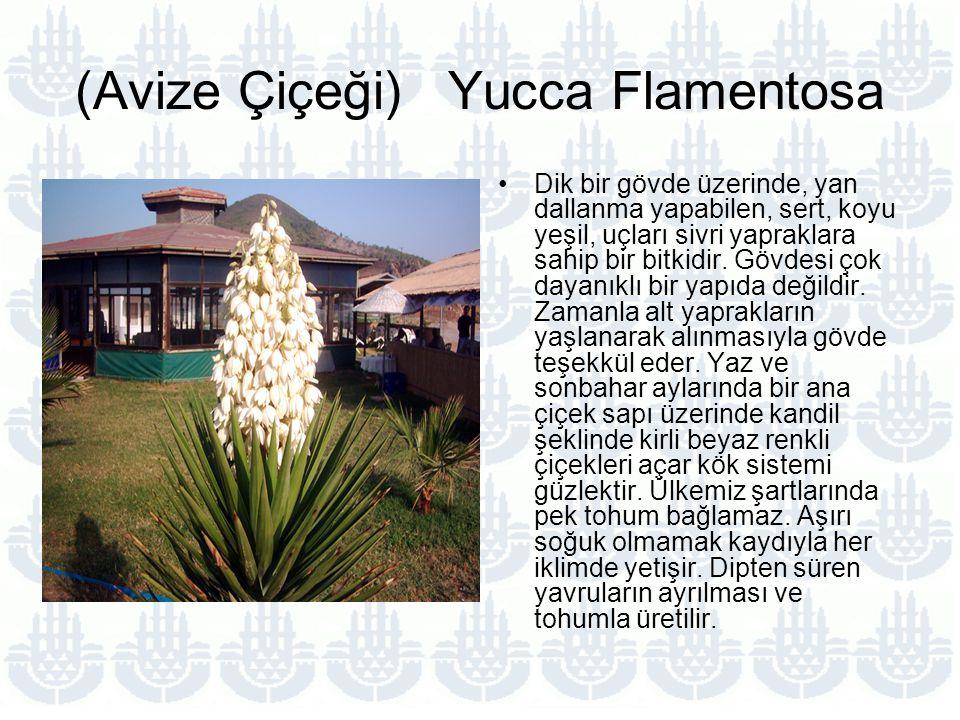 (Avize Çiçeği) Yucca Flamentosa
