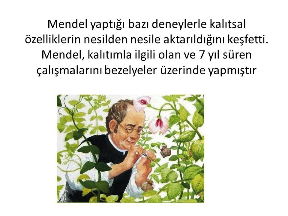 Mendel yaptığı bazı deneylerle kalıtsal özelliklerin nesilden nesile aktarıldığını keşfetti.