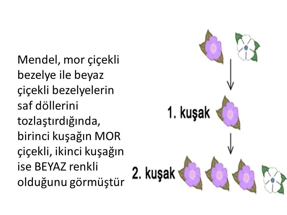 Mendel, mor çiçekli bezelye ile beyaz çiçekli bezelyelerin saf döllerini tozlaştırdığında, birinci kuşağın MOR çiçekli, ikinci kuşağın ise BEYAZ renkli olduğunu görmüştür