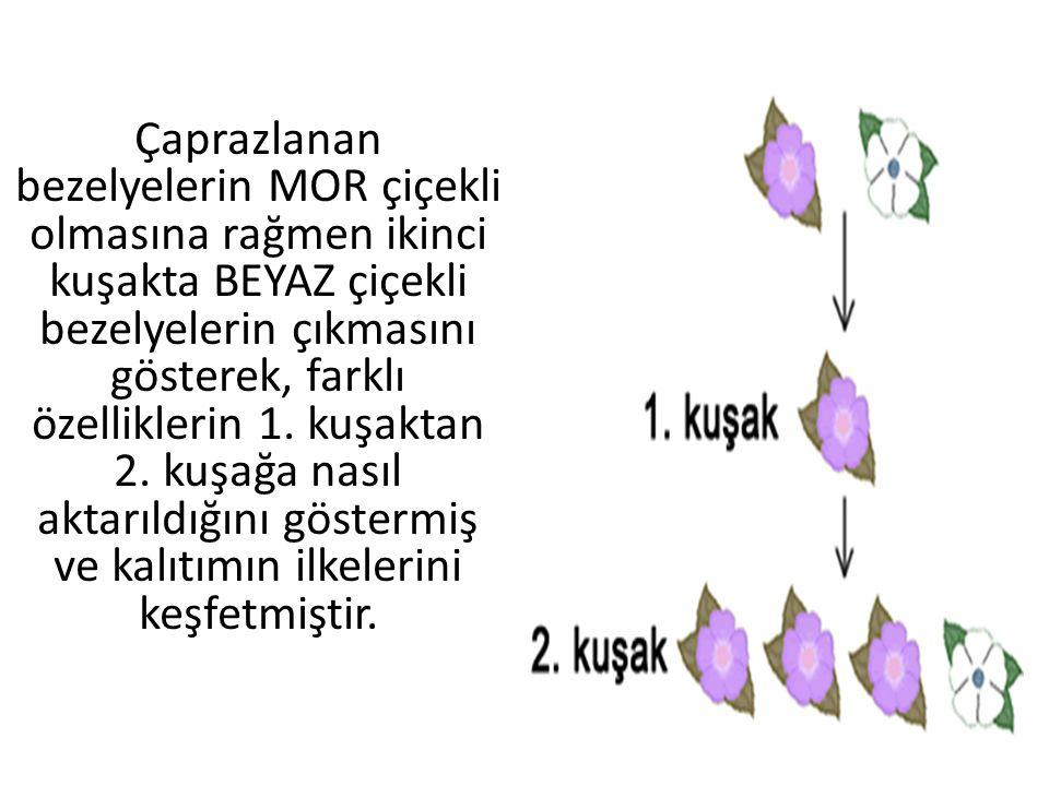 Çaprazlanan bezelyelerin MOR çiçekli olmasına rağmen ikinci kuşakta BEYAZ çiçekli bezelyelerin çıkmasını gösterek, farklı özelliklerin 1.