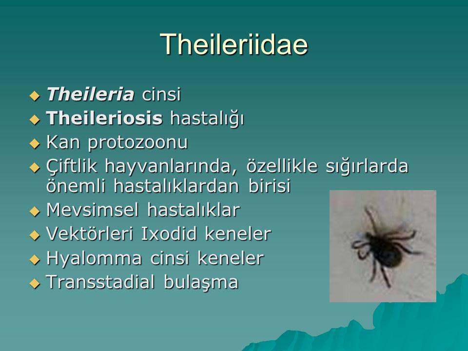 Theileriidae Theileria cinsi Theileriosis hastalığı Kan protozoonu