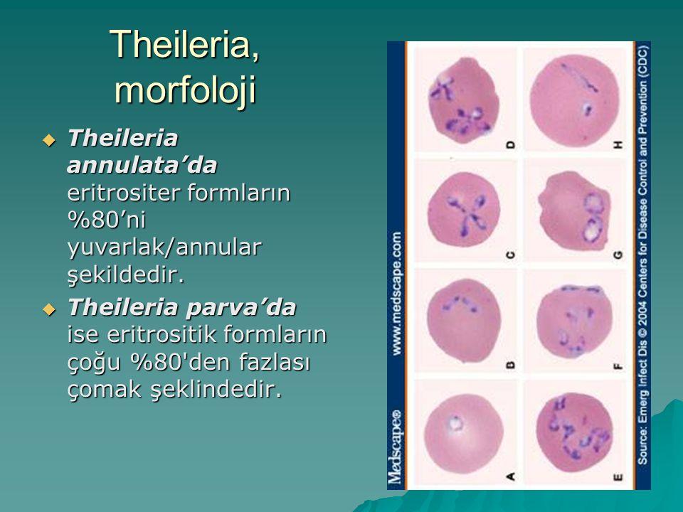 Theileria, morfoloji Theileria annulata'da eritrositer formların %80'ni yuvarlak/annular şekildedir.