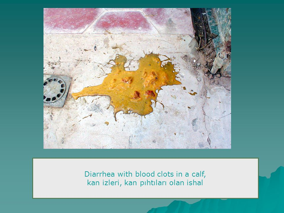 Diarrhea with blood clots in a calf,