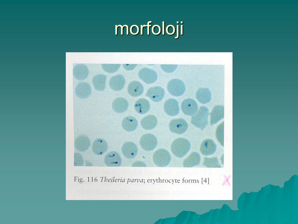 morfoloji