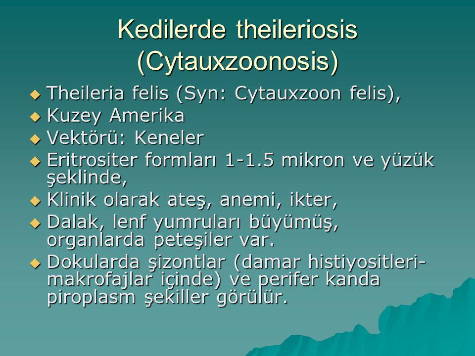 Kedilerde theileriosis (Cytauxzoonosis)