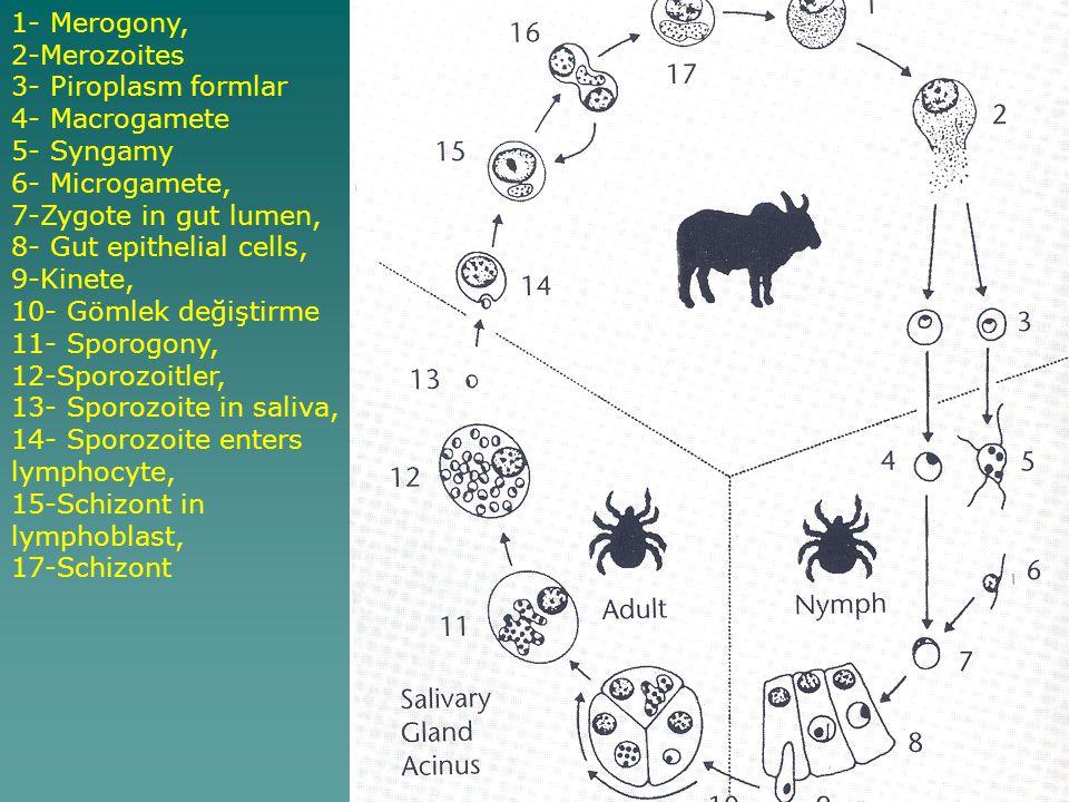 1- Merogony, 2-Merozoites. 3- Piroplasm formlar. 4- Macrogamete. 5- Syngamy. 6- Microgamete, 7-Zygote in gut lumen,