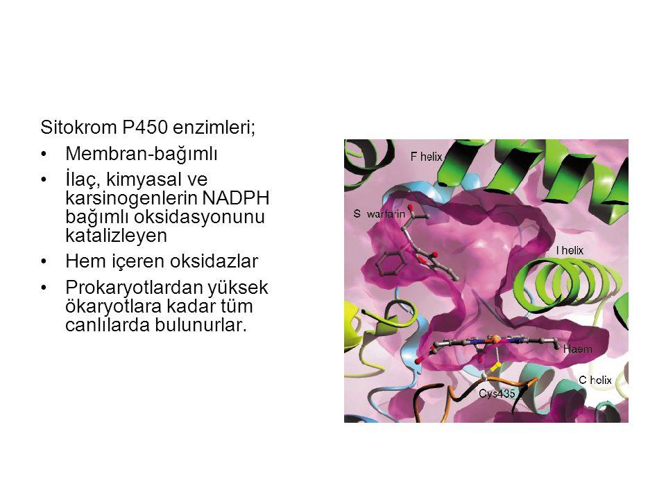 Sitokrom P450 enzimleri; Membran-bağımlı. İlaç, kimyasal ve karsinogenlerin NADPH bağımlı oksidasyonunu katalizleyen.