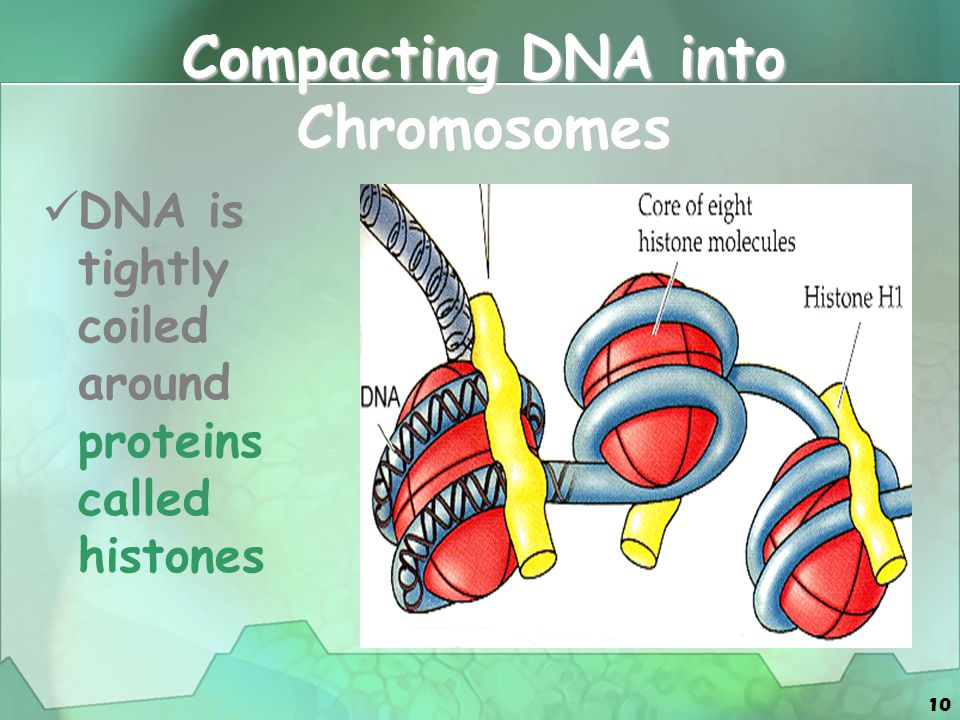 Compacting DNA into Chromosomes