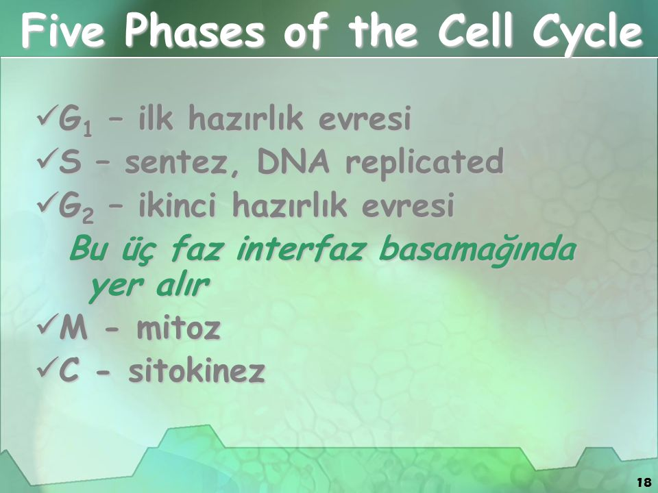 Five Phases of the Cell Cycle