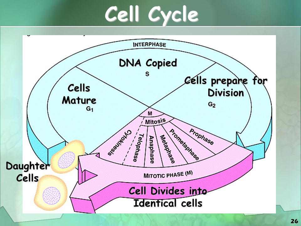 Cells prepare for Division Cell Divides into Identical cells