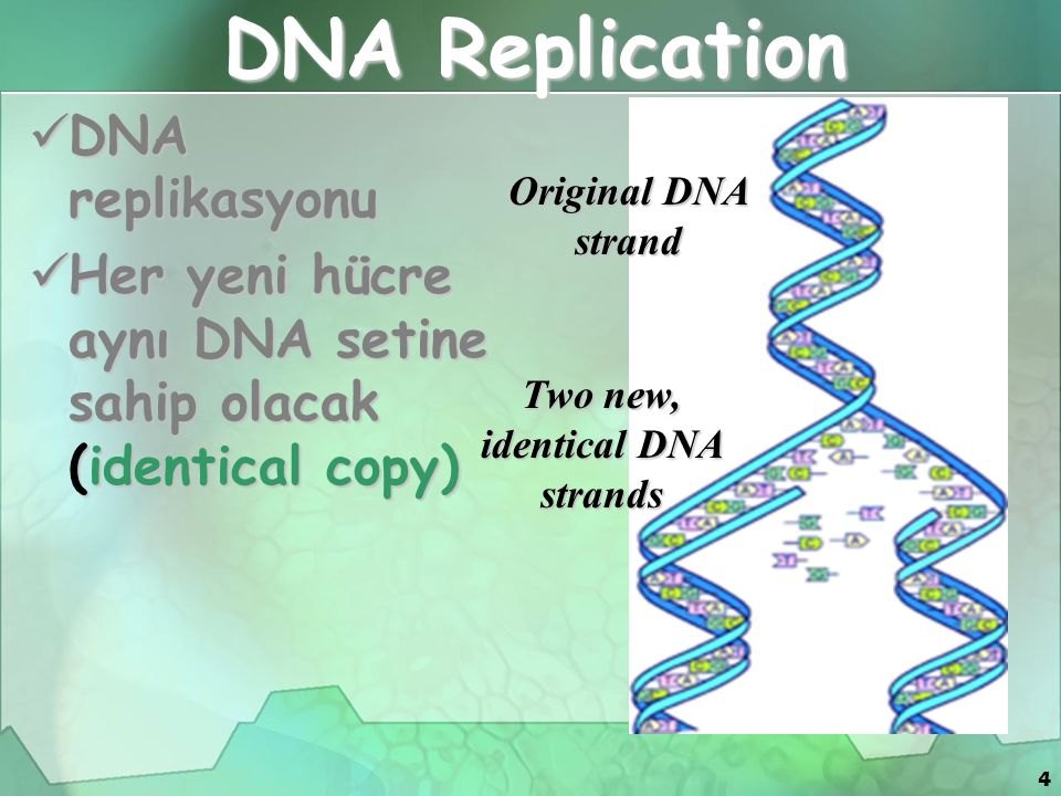 Two new, identical DNA strands