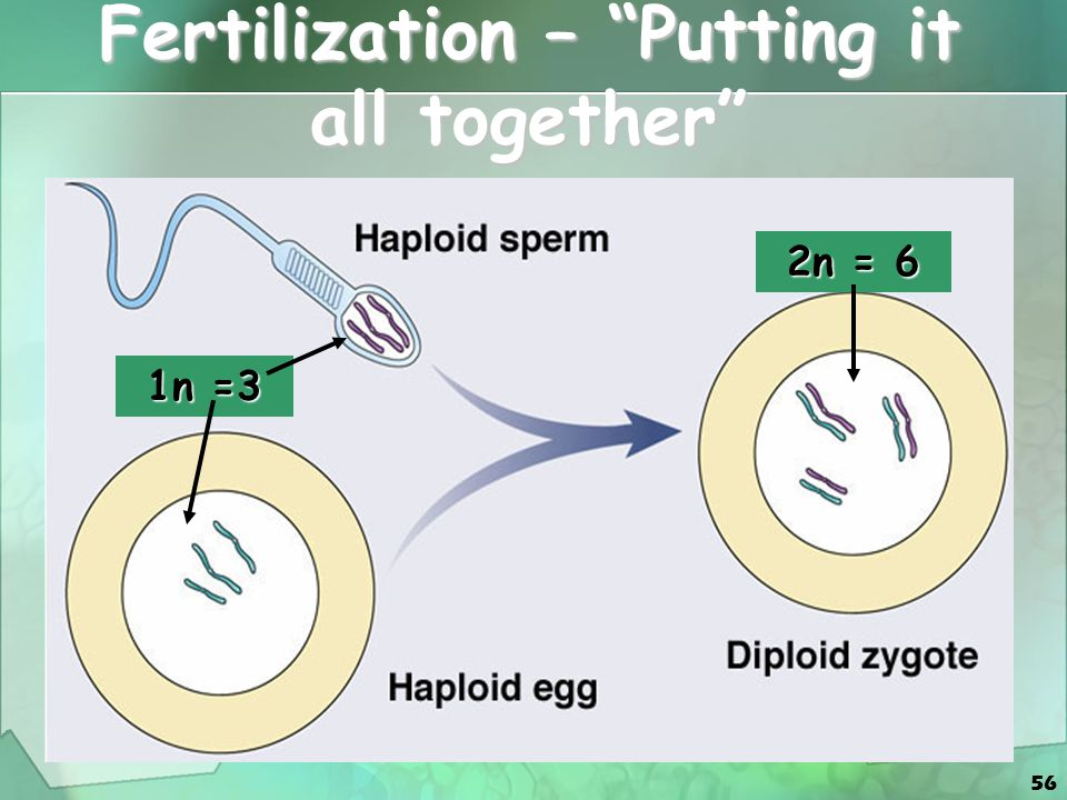 Fertilization – Putting it all together