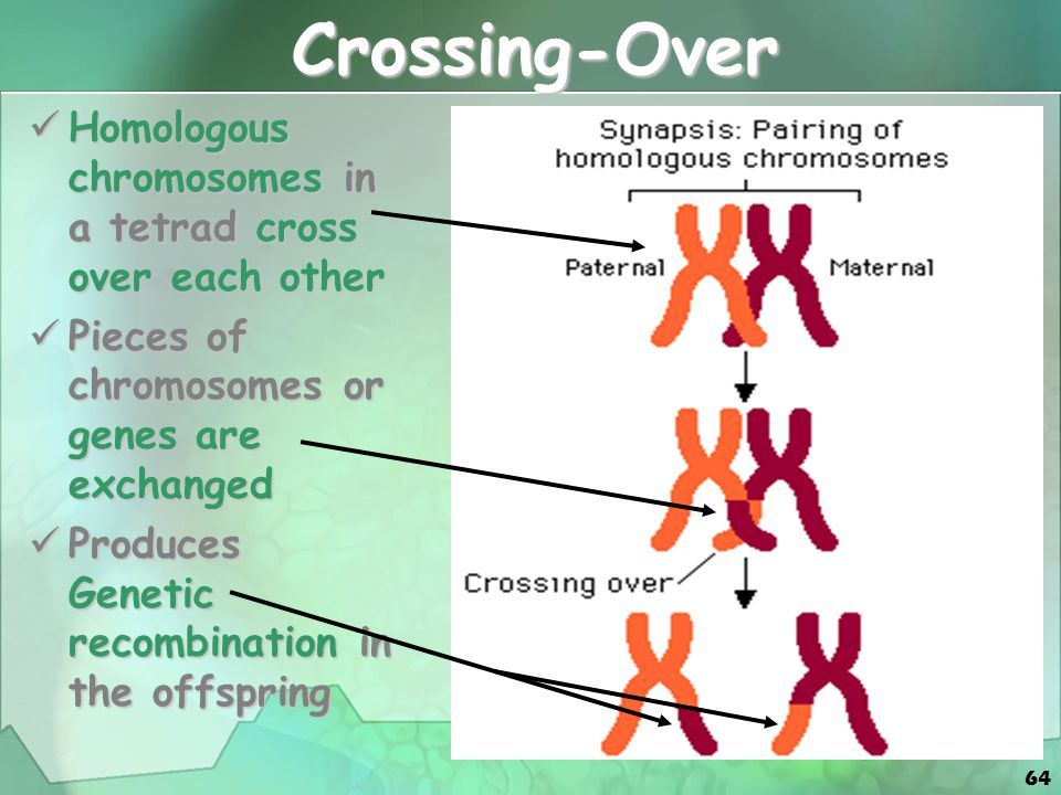 Crossing-Over Homologous chromosomes in a tetrad cross over each other