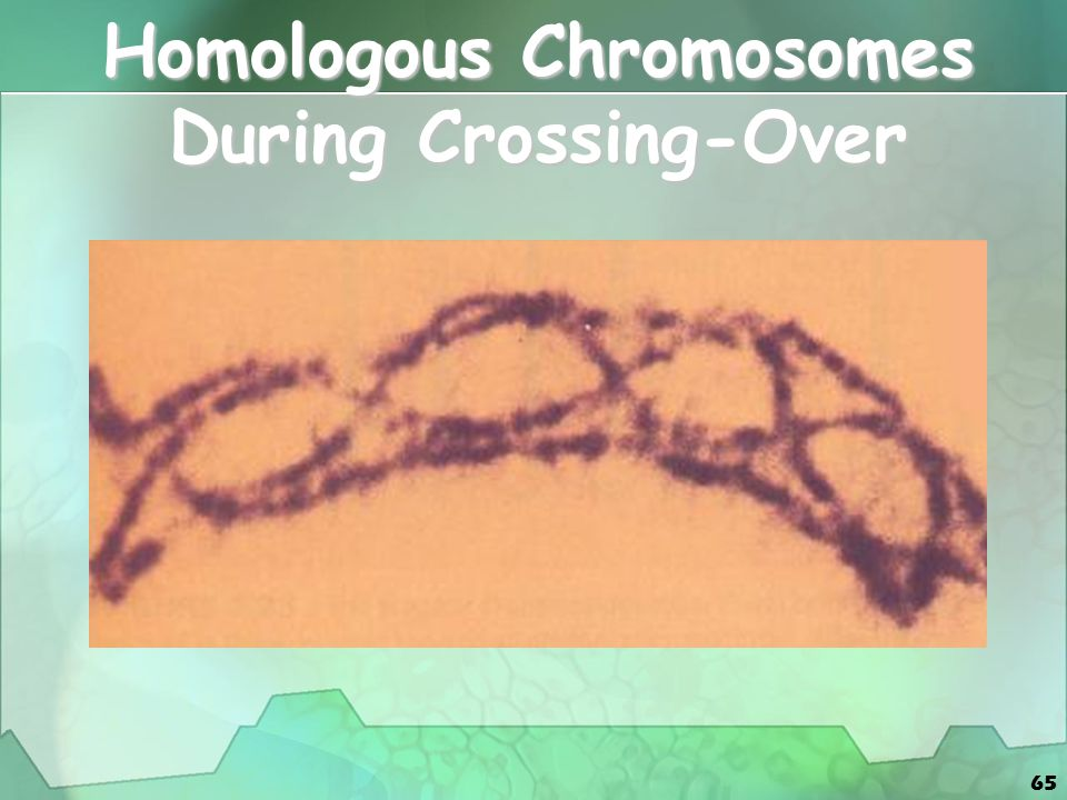 Homologous Chromosomes During Crossing-Over