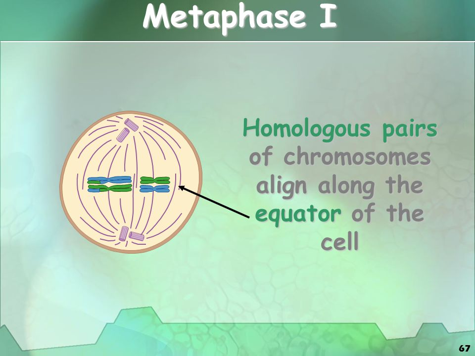 Homologous pairs of chromosomes align along the equator of the cell
