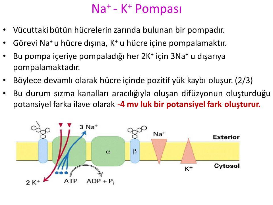 Na+ - K+ Pompası Vücuttaki bütün hücrelerin zarında bulunan bir pompadır. Görevi Na+ u hücre dışına, K+ u hücre içine pompalamaktır.
