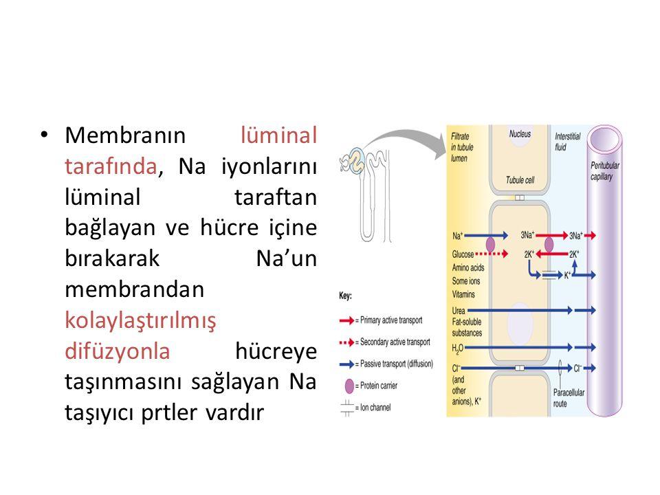 Membranın lüminal tarafında, Na iyonlarını lüminal taraftan bağlayan ve hücre içine bırakarak Na'un membrandan kolaylaştırılmış difüzyonla hücreye taşınmasını sağlayan Na taşıyıcı prtler vardır