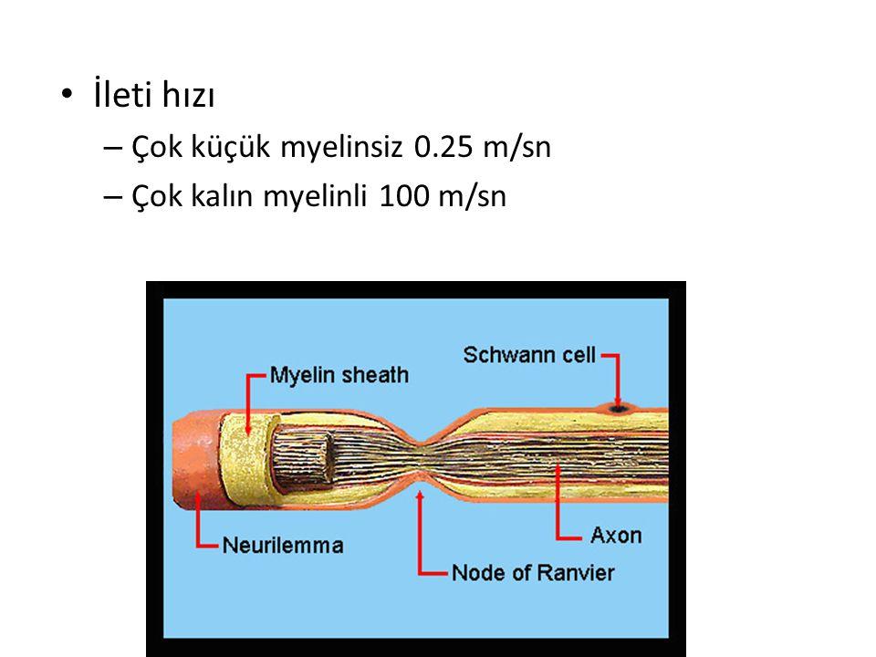İleti hızı Çok küçük myelinsiz 0.25 m/sn Çok kalın myelinli 100 m/sn