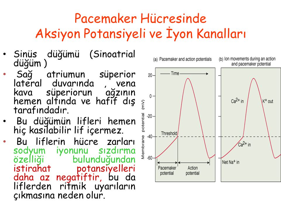 Pacemaker Hücresinde Aksiyon Potansiyeli ve İyon Kanalları