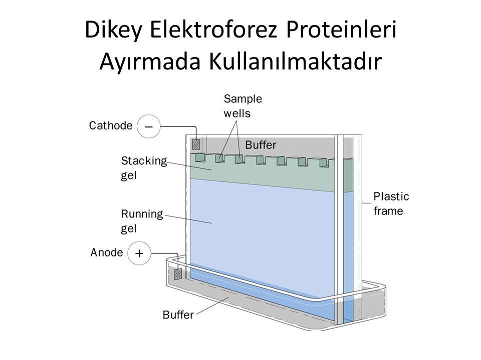 Dikey Elektroforez Proteinleri Ayırmada Kullanılmaktadır