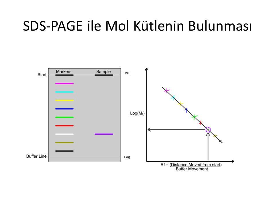 SDS-PAGE ile Mol Kütlenin Bulunması
