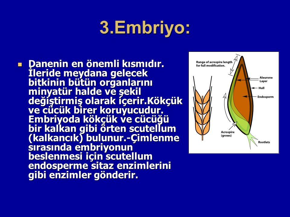 3.Embriyo: