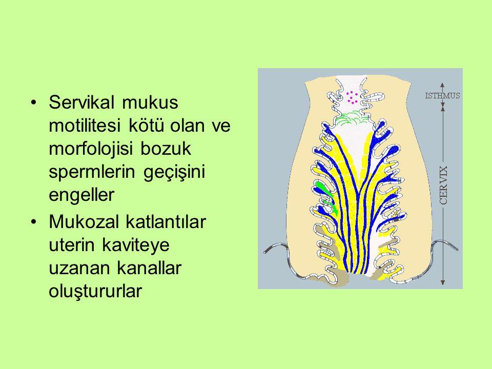 Mukozal katlantılar uterin kaviteye uzanan kanallar oluştururlar