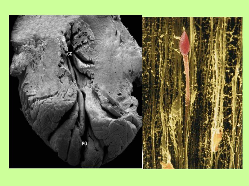 mukozal katlantılar spermi uterusa yönlendirirken Servikal mukusun mikromimari glikoprotein yapıda mucinler uzun linear moleküler yapıdadır ve spermin uterusa doğru yönlenmesine yardımcı olurlar