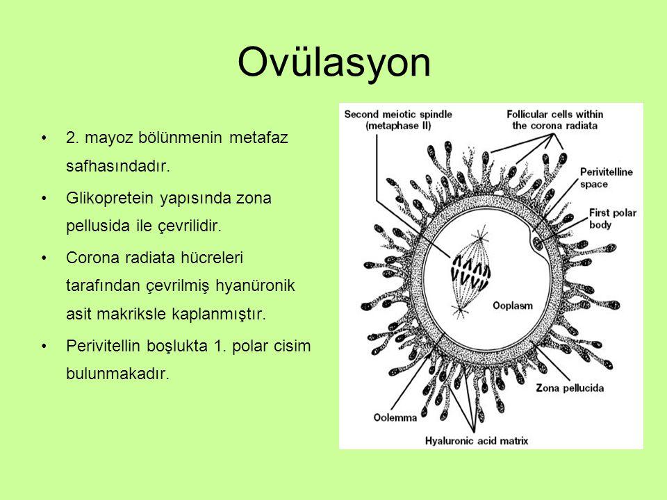Ovülasyon 2. mayoz bölünmenin metafaz safhasındadır.