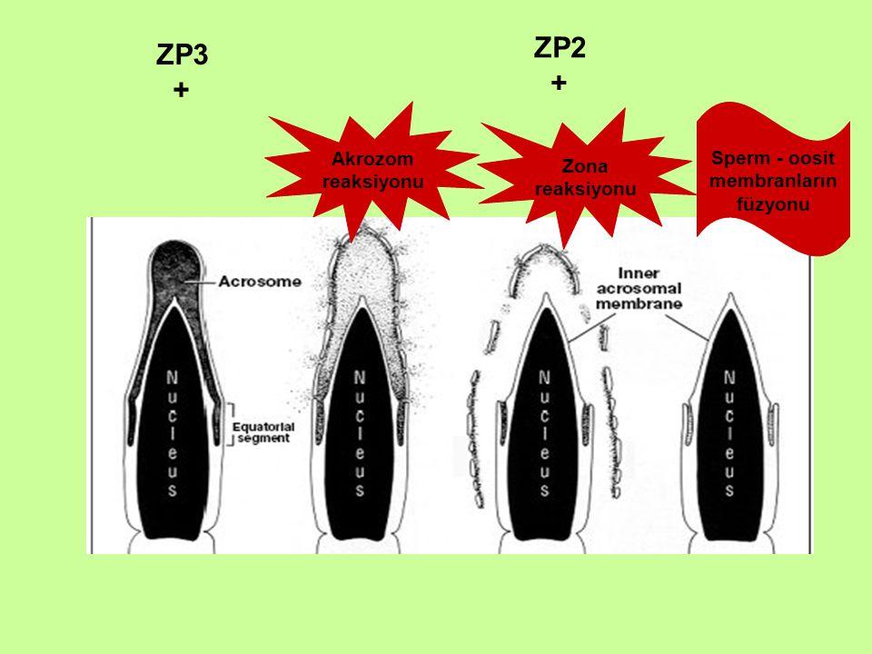 Sperm - oosit membranların füzyonu