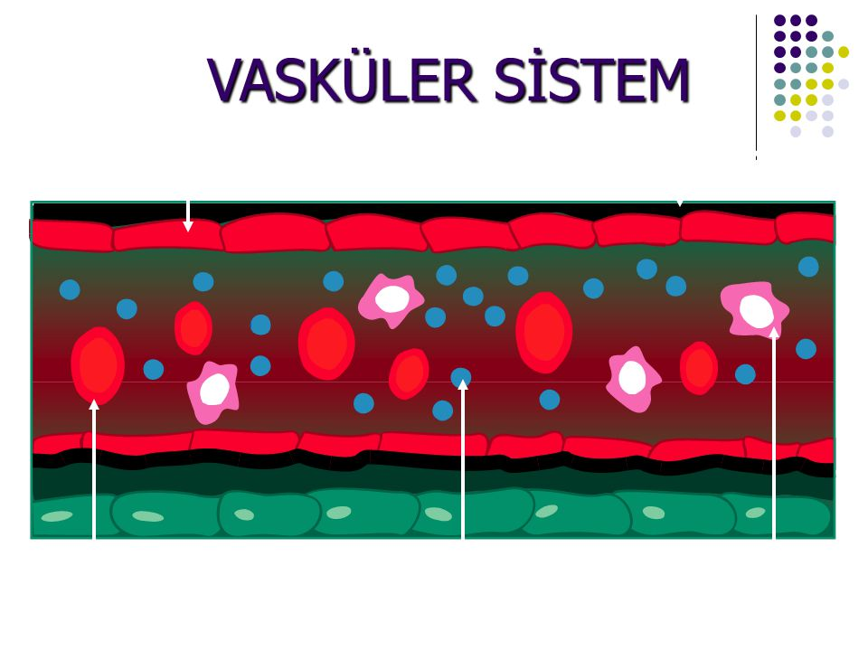 VASKÜLER SİSTEM Endothelial Cells Basement Membrane Red Blood Cells