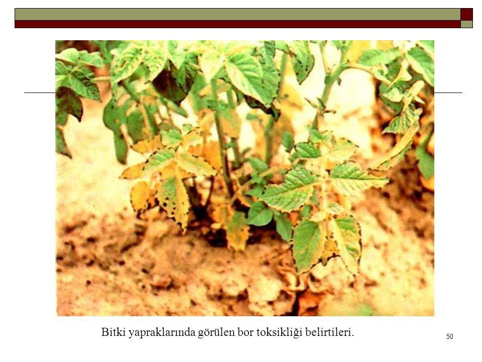 Bitki yapraklarında görülen bor toksikliği belirtileri.