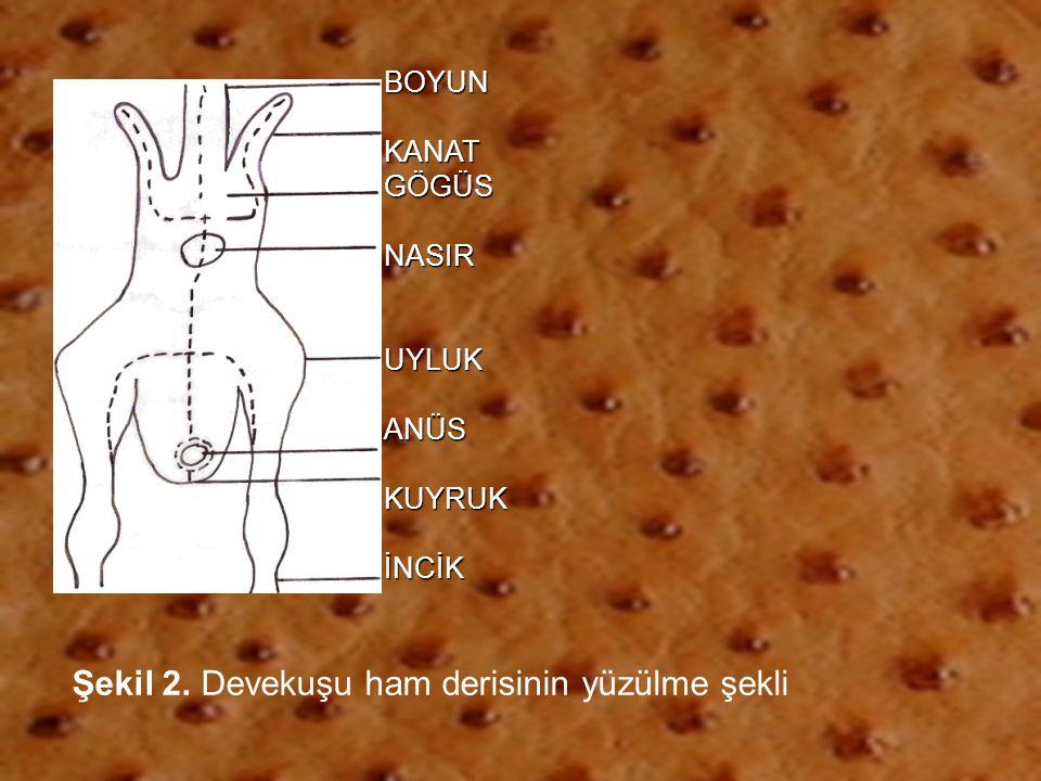 Şekil 2. Devekuşu ham derisinin yüzülme şekli