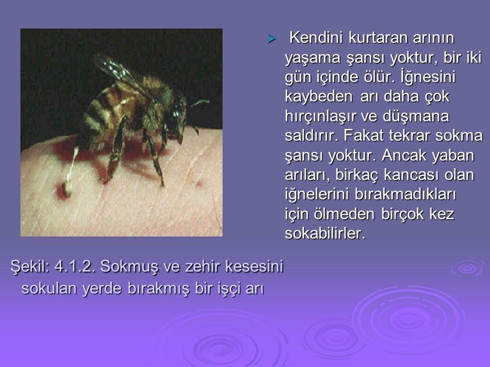 Kendini kurtaran arının yaşama şansı yoktur, bir iki gün içinde ölür