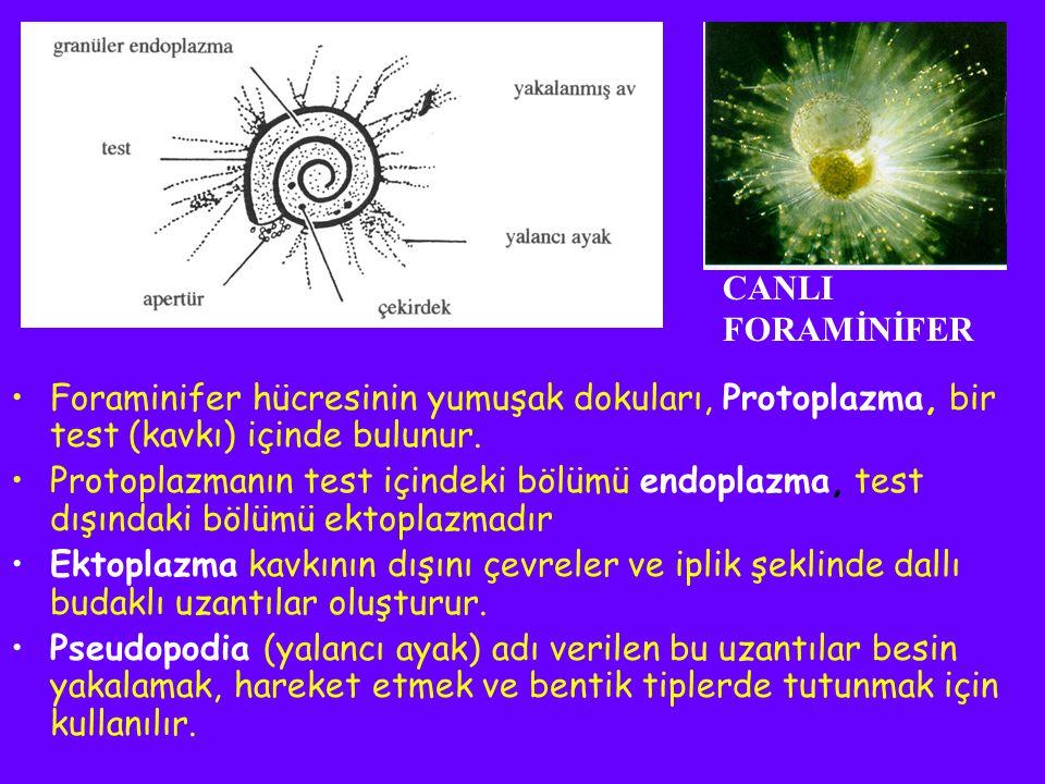 CANLI FORAMİNİFER. Foraminifer hücresinin yumuşak dokuları, Protoplazma, bir test (kavkı) içinde bulunur.
