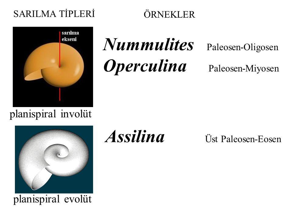 Nummulites Paleosen-Oligosen Operculina Paleosen-Miyosen