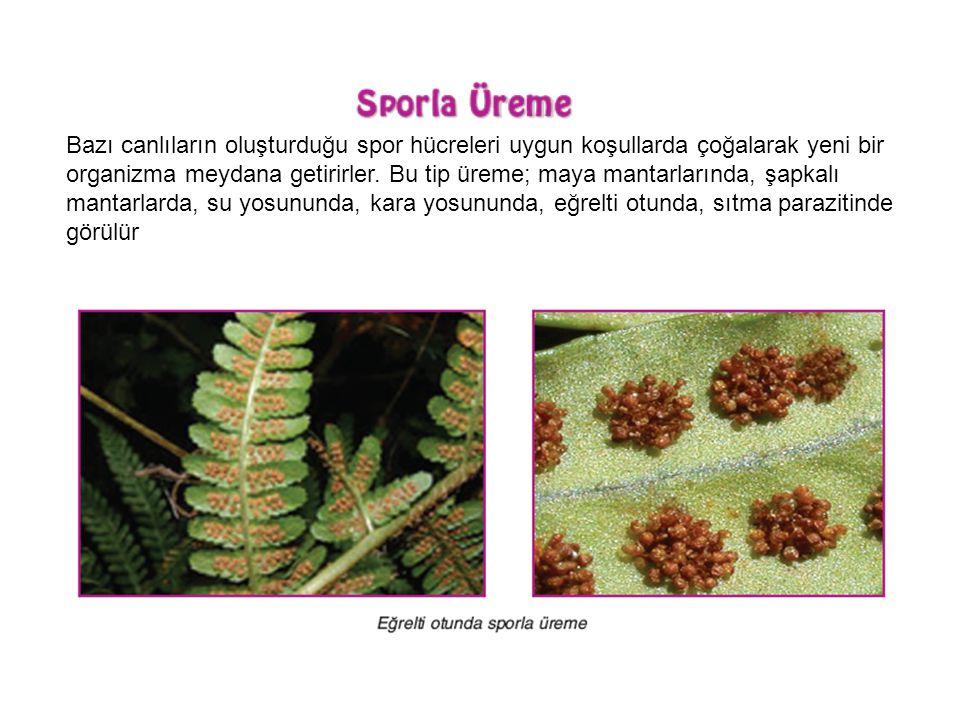 Bazı canlıların oluşturduğu spor hücreleri uygun koşullarda çoğalarak yeni bir organizma meydana getirirler.