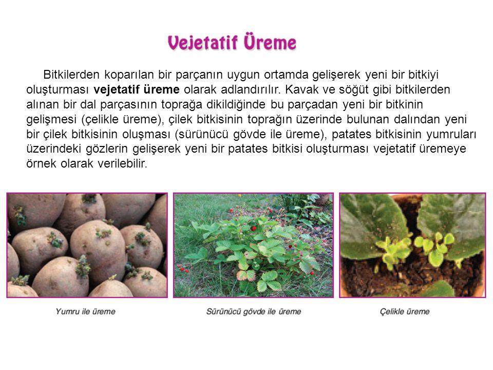 Bitkilerden koparılan bir parçanın uygun ortamda gelişerek yeni bir bitkiyi oluşturması vejetatif üreme olarak adlandırılır. Kavak ve söğüt gibi bitkilerden