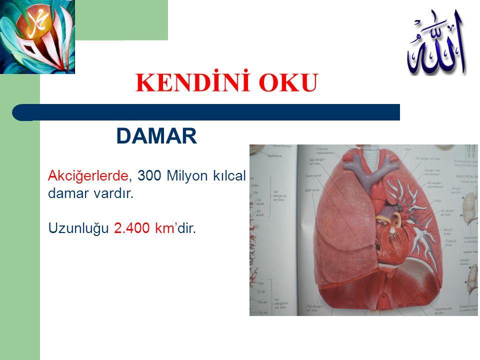 KENDİNİ OKU DAMAR Akciğerlerde, 300 Milyon kılcal damar vardır.