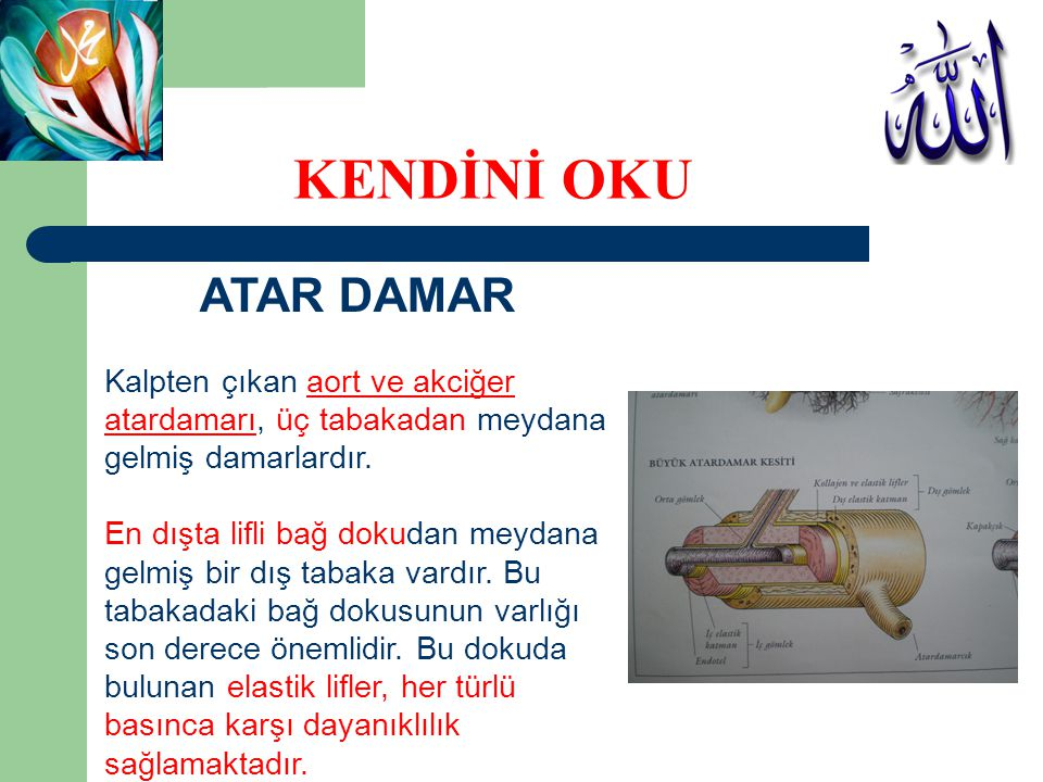 KENDİNİ OKU ATAR DAMAR Kalpten çıkan aort ve akciğer