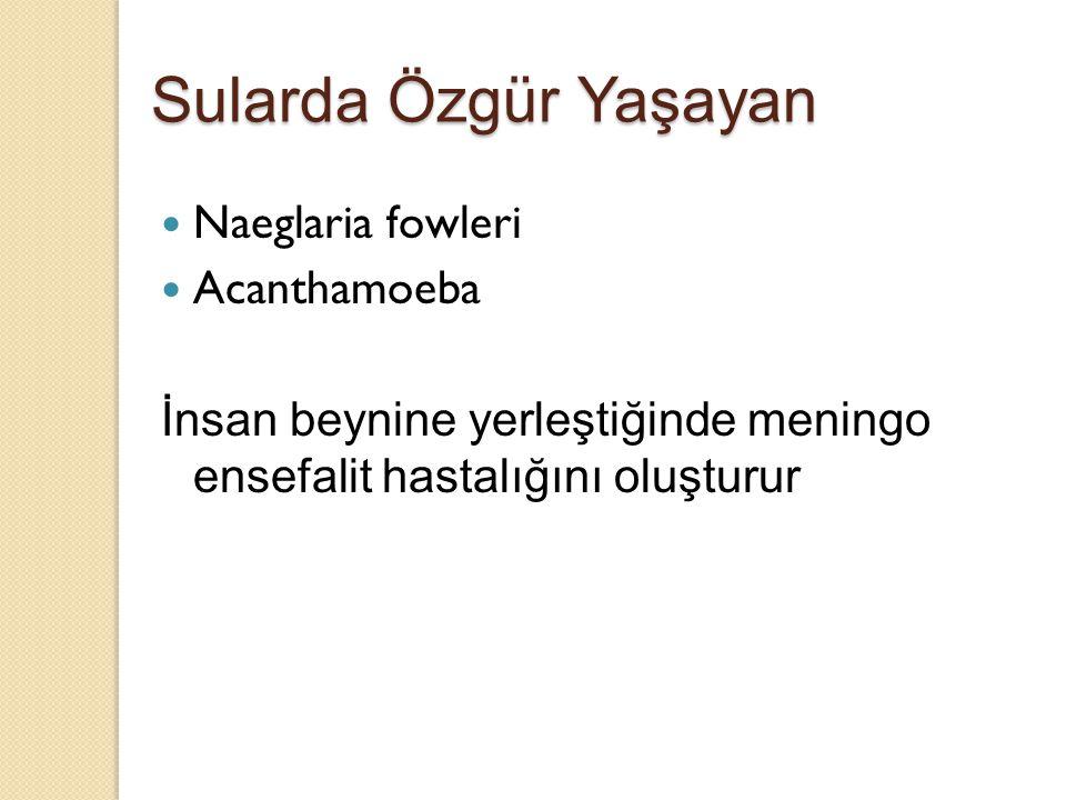 Sularda Özgür Yaşayan Naeglaria fowleri Acanthamoeba