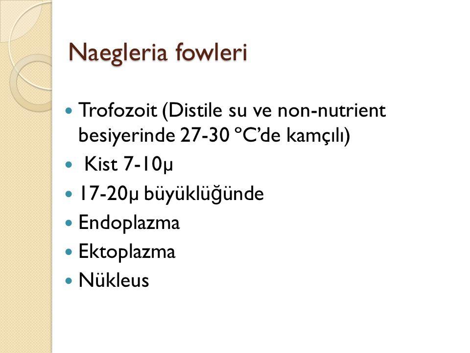 Naegleria fowleri Trofozoit (Distile su ve non-nutrient besiyerinde 27-30 ºC'de kamçılı) Kist 7-10µ.