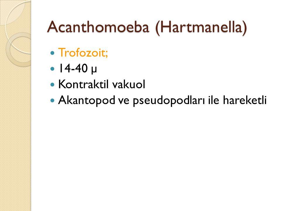 Acanthomoeba (Hartmanella)