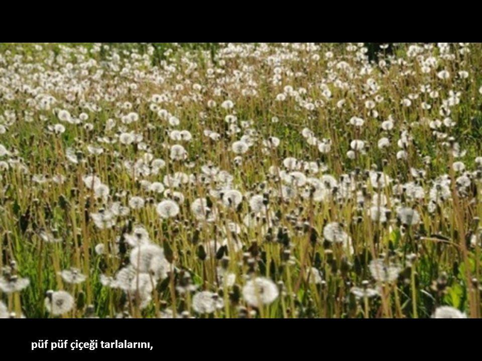 püf püf çiçeği tarlalarını,